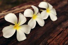 White frangipani Plumeria Stock Images