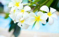 White frangipani by the pool Stock Image