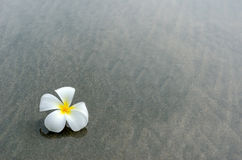 White frangipani Stock Photo
