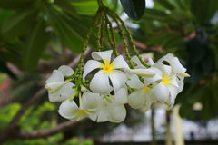 White frangipani tropical flower, plumeria flower blooming on tree. Royalty Free Stock Photos