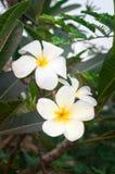 White frangipani tropical flower, plumeria flower blooming on tree, spa flower, Leelawadee. Leelawadee beautiful thai spa flowers Royalty Free Stock Photos