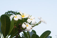 White frangipani tropical flower, plumeria flower blooming on tree, spa flower, Leelawadee Stock Photo