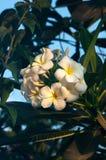 White frangipani tropical flower, plumeria flower blooming on tree, spa flower. Plumeria flower blooming on tree, thai spa flower Royalty Free Stock Photos