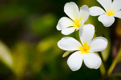 White frangipani tropical flowers Royalty Free Stock Photo