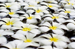 White frangipani on water Stock Photography