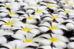White frangipani on water Stock Photography