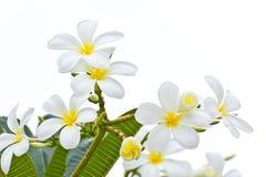 White frangipani on white background Stock Photography