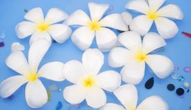 White frangipanis Stock Images