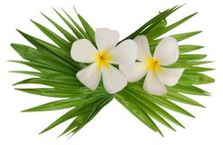 White frangipanis Royalty Free Stock Photos