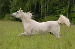 White free arabian horse in summer field Royalty Free Stock Images