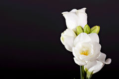 White freesia Royalty Free Stock Photography