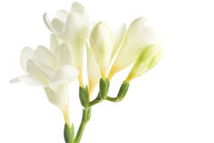 White Freesia. A bunch of white Freesia isolated on white Stock Image