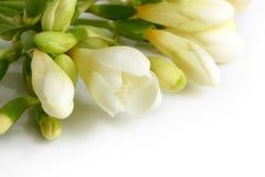 White freesia Royalty Free Stock Photo