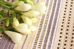 White freesia Royalty Free Stock Image