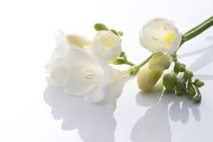 White freesia. On white background Stock Photography