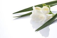 White freesia. On white background Stock Photos