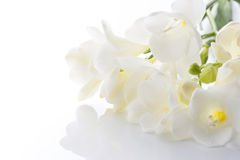 White freesia Stock Images
