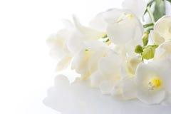 White freesia. On white background Stock Images