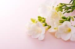 White freesia. On pink background Royalty Free Stock Photo