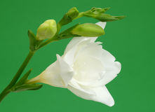 White freesia Royalty Free Stock Photo