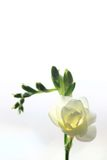 White Freesia. Delicate white freesia blossom on white background Royalty Free Stock Photography
