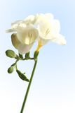 White Freesia. Delicate white freesia blossom on light blue background Stock Photography