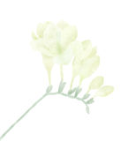 White freesia Stock Photos