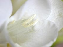 White Freesia. The center of a white freesia flower royalty free stock photo
