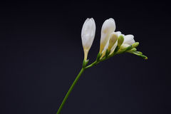 White freesia on black Royalty Free Stock Photos