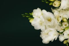 White Freesia Bouquet of Flowers on Black Background. Copy Space. close up. Royalty Free Stock Image