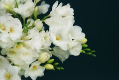 White Freesia Bouquet of Flowers on Black Background. Copy Space. close up. stock photo
