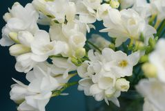 White Freesia Bouquet of Flowers on Black Background. close up. stock photos