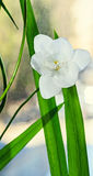 White freesia flower, window background, green plant close up Stock Photo