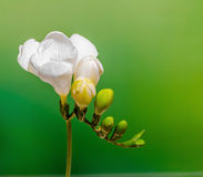 White freesia flowers, close up, green gradient background Royalty Free Stock Photos
