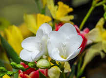White freesia flowers, close up, yellow vegetal background.  stock image