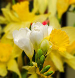 White freesia flowers, close up, yellow vegetal background Stock Photos