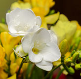 White freesia flowers, close up, yellow vegetal background Royalty Free Stock Image