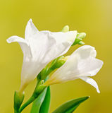 White freesia flowers, family Iridaceae, yellow gradient bokeh background, close up Stock Photography