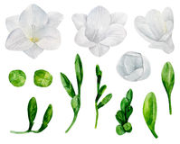 White freesia flowers vector Stock Photo