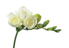 White freesia. Isolated on white background Royalty Free Stock Image