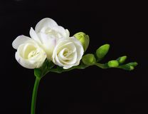 White freesia. Isolated on black background Stock Images