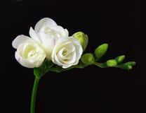 White freesia Stock Images