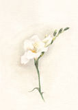 White freesia watercolor painting Stock Photo