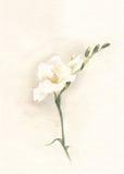 White freesia watercolor painting stock photo