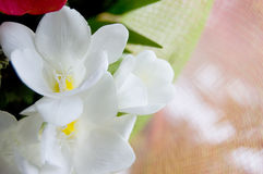White freesias Stock Images