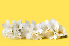 White Freesias Stock Photography