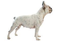 White french bulldog Royalty Free Stock Photo
