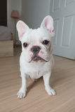 White french bulldog. Bacon, He is white french bulldog sit on the ground Royalty Free Stock Images