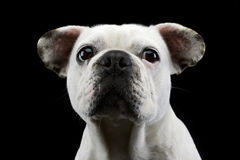 White french bulldog with funny ears posing in a dark photo stud Royalty Free Stock Photography
