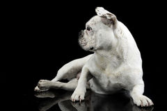 White french bulldog with funny ears posing in a dark photo stud Royalty Free Stock Photos